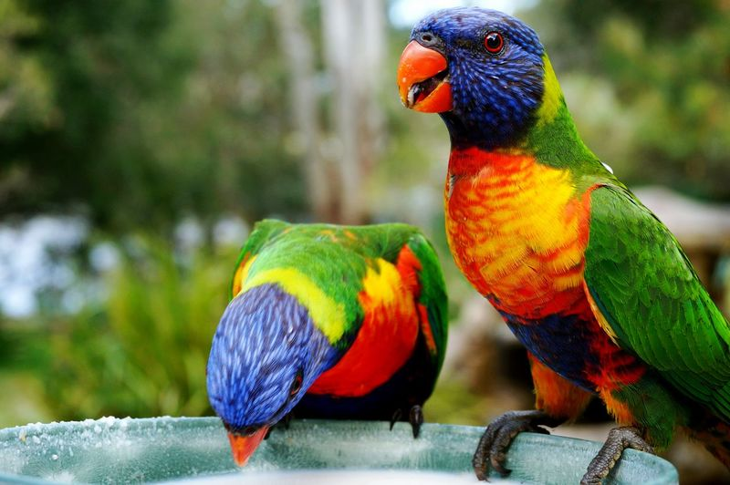 Close-up of rainbow lorikeets perching on container