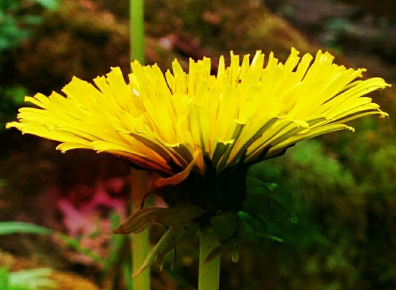 the last yellow 😉 Lemon By Motorola Yellow Macro_collection Efflorescence Ladyphotographerofthemonth Streamzoofamily Tadaa Community Beautiful Nature Impressions Of Joy EyeEm Nature Lover
