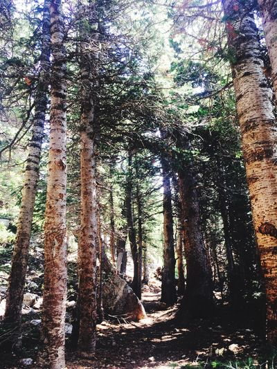 Tree Tree Trunk Nature Forest Beauty In Nature Tranquility Day Growth Tranquil Scene No People Scenics WoodLand Outdoors Colorado Rosevelt National Forest