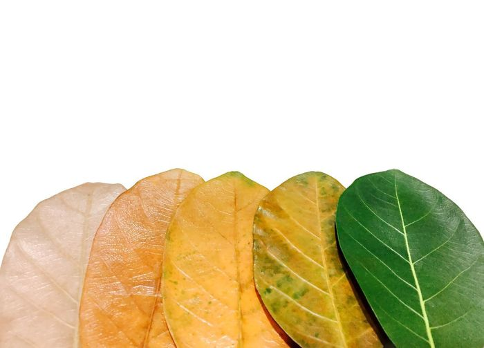 Natural Life Cycle Born To Die  Brown Leaf  Close-up Colors Of Nature Day Dried Leaf Five Colors Of Nature Five Leafs Fresh To Dried Freshness Fruit Green Color Green Leaf Green To Brown Leaf Leafs Life Cycle Life Cycle Leafs Nature No People Outdoors Studio Shot White Background Yellow Leafs