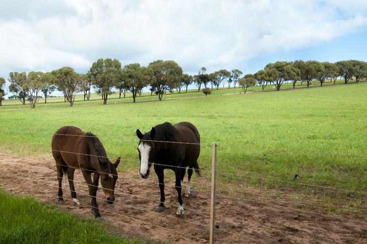 Horse Pasture Australia Pasture Field Herbivorous Horse Livestock Mammal