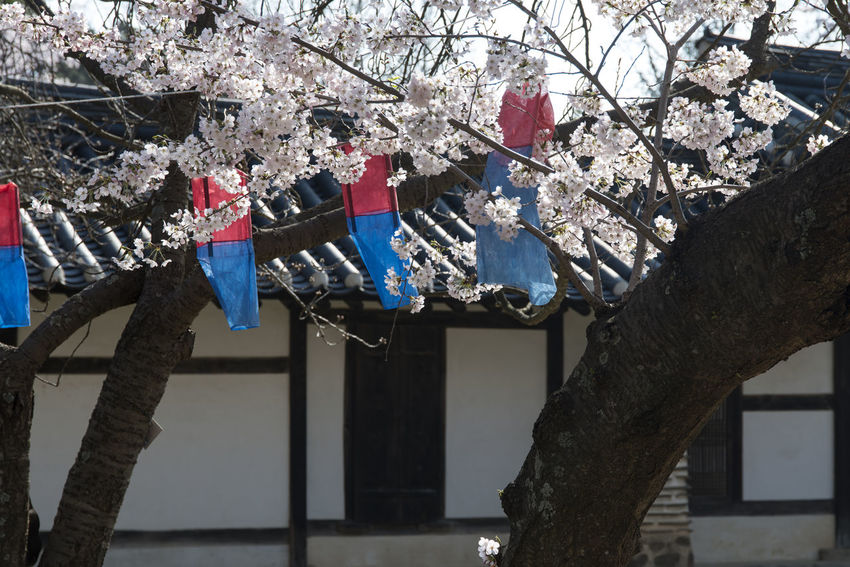 spring time in Gangreung, Gangwondo, South Korea Architecture Branch Built Structure Bunting Cheongsachorong Cherry Blossoms Clothesline Day Drying Flag Flower Fragility Freshness Hanging Lantern Low Angle View Morning Nature No People Outdoors Spring Tree