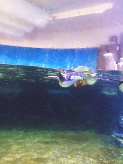 Swimming Penguins Penguin