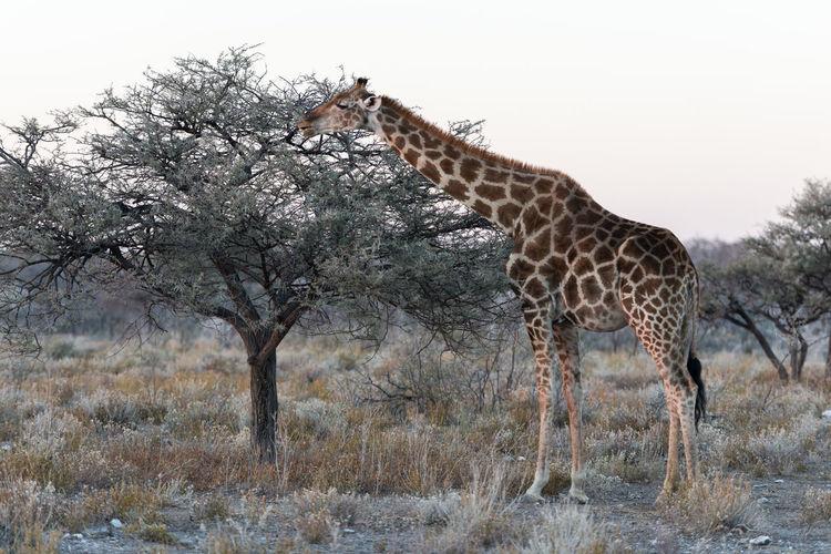 Giraffe standing on field against trees