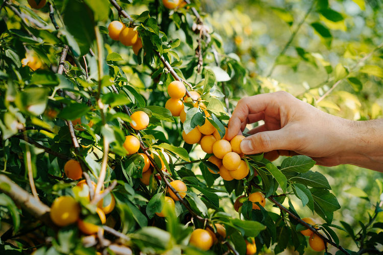 Person picking wax cherry fruits growing on branch