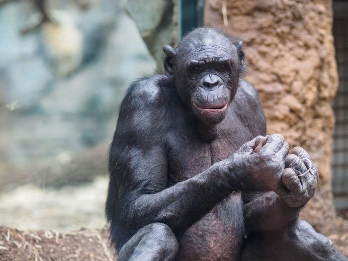 Portrait of chimpanzee at zoo