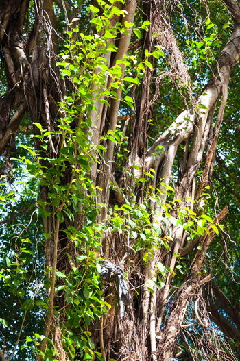 Branches of banyan tree with roots pattern Banyan Banyan Tree Banyan Tree Roots Beauty In Nature Brown Day Forest Green Color Growth Leaves Nature No People Outdoors Plant Roots Roots Of Tree Tranquility Tree Tree Trunk EyeEm Selects