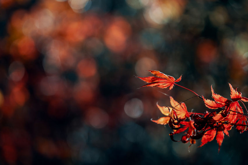 Some boring autumn colors Autumn Plant Change Plant Part Leaf Beauty In Nature Orange Color Close-up Nature Focus On Foreground No People Selective Focus Growth Tree Branch Day Maple Leaf Outdoors Fragility Leaves Natural Condition Autumn Collection