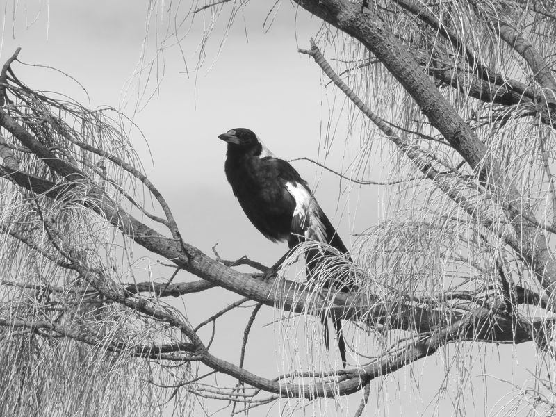Australian Magpie Bird Animals In The Wild Black And White Blackandwhite Photography Nature Tree Streching Ready To Fight Bird Photography Nature Photography Be. Ready. Black & White Friday