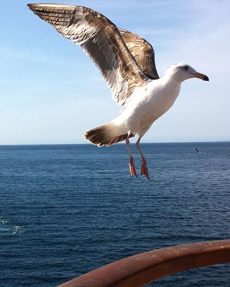 SEAGULL IN FLIGHT Landing Gear Poised Hitching A Ride Darryn Doyle Travel Birds Wildlife Locals