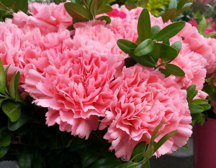 Pink Color Plant Flower No People Beauty In Nature Growth Petal Flower Head Nature Close-up Day Fragility Outdoors Peony  Freshness Carnation Flowers Flowers 🌸🌸🌸 Carnation 3XSPhotographyUnity 3XSPUnity EyeEm Gallery Nature Beauty In Nature