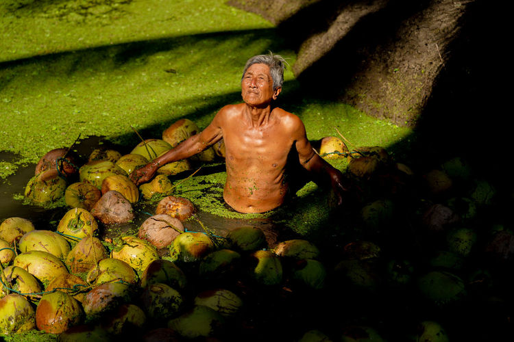Asian old man harvesting the coconuts