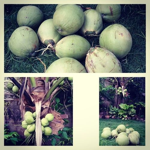 After shift Harvest from our small yet productive Coconut - Lubi Butong niyog coco homegrown