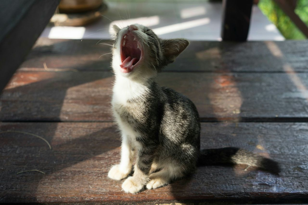 Close-up of kitten yawning of boardwalk