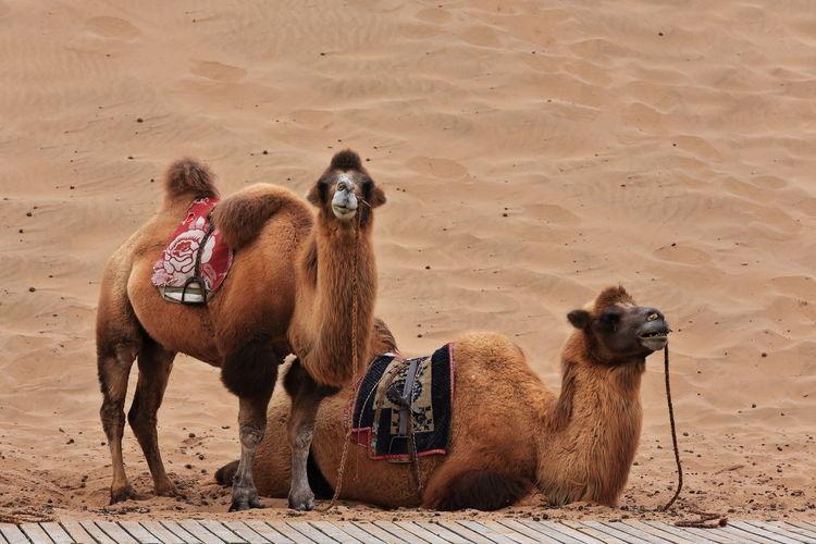 1049 bactrian camels waiting for tourists-ride around the badain east lake-badain jaran desert-china