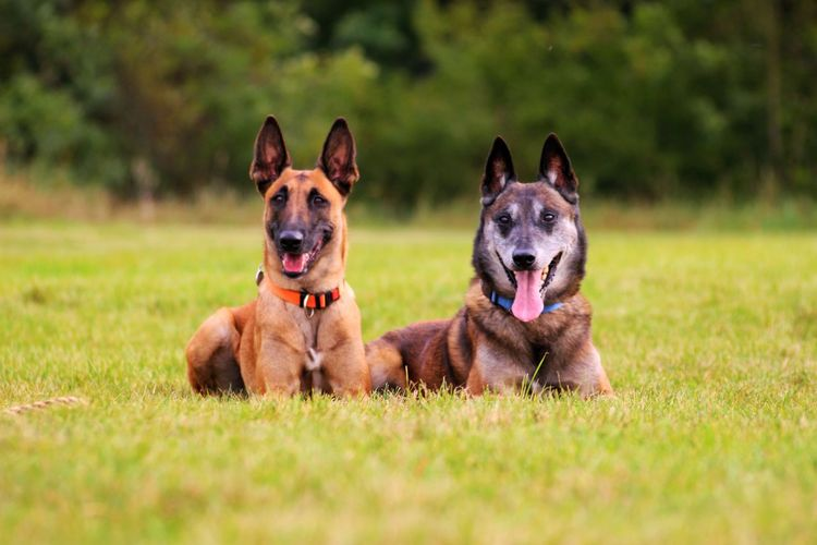 🐕🐕 Dog Pets German Shepherd Grass Domestic Animals Looking At Camera Portrait Happiness No People Day Lying Down Outdoors Animal Themes Mammal Friendship Dogs Of EyeEm Dogs Doglover Looking At Camera Grass Perspectives On Nature Dogs Of Winter Dogs Of Autumn Dog Sitting On The Grass