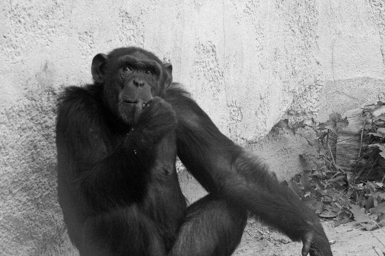 May the Ape is a Philosopher 🤔 Thinking Black And White Portrait Nature Animals Mammal No People Beauty In Nature People Are People Canon EOS 700D Pentacon 135mm Nature's Diversities EyeEm Diversity Resist
