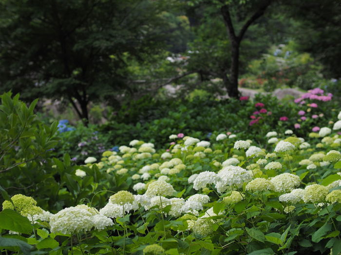 Plant Growth Green Color Beauty In Nature Freshness Flower Flowering Plant Day Nature Plant Part Leaf Focus On Foreground No People Fragility Vulnerability  Land Food Vegetable Park Tranquility Outdoors Flowerbed Hydrangea Olympus Olympus OM-D EM-1 Nokton25mmF0.95 Saga Japan