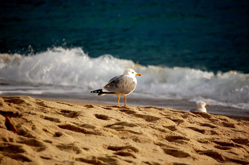Beach Photography Sea Life Focus On Foreground Italy Peace And Quiet Sunlight Bird Water Sea Wave Beach Bird Of Prey Sand Seagull Animal Themes Sea Bird