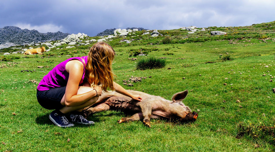 Sleeping Pig Being Touched By Woman On Grassy Field