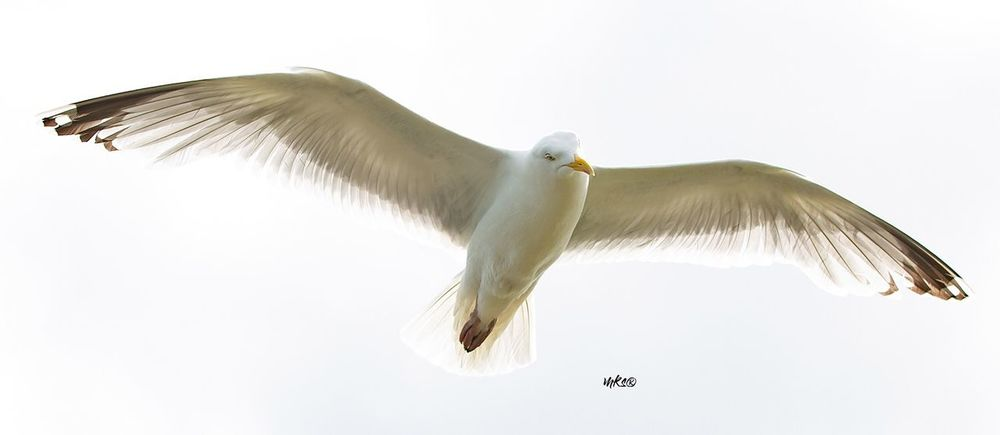 Food Radar Seagull Cloud - Sky EyeEm Best Shots Photography Bestoftheday Animal Themes Animal Vertebrate Animals In The Wild Animal Wildlife Bird Flying Sky Close-up Animal Wing