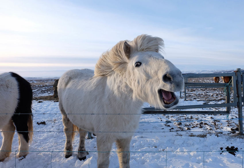 Animal Themes Beauty In Nature Day Domestic Animals Funny Fur Horse Iceland Livestock Mammal Nature No People One Animal Outdoors Sky Snow Standing
