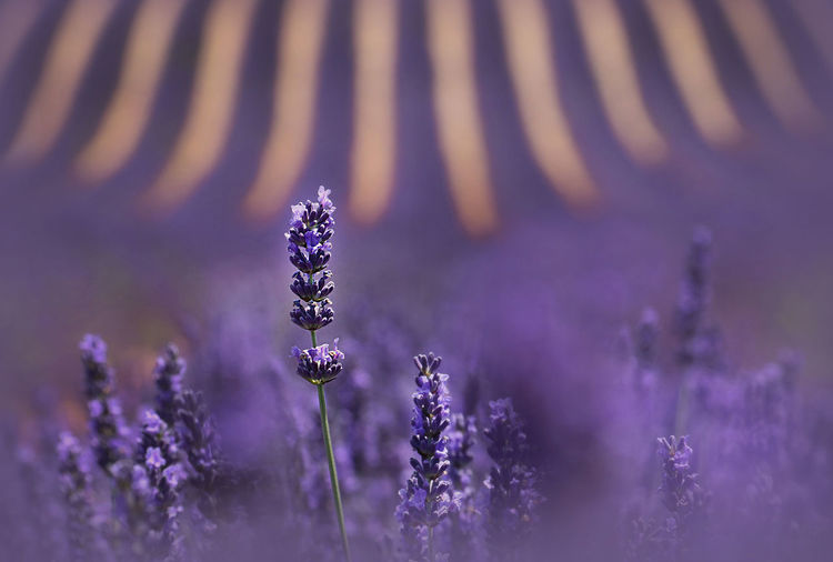 Lavender Field Beauty In Nature Close-up Flower Flower Head Flowering Plant Focus On Foreground Fragility Freshness Growth Lavender Lavender Colored Nature No People Outdoors Plant Purple Selective Focus Vulnerability