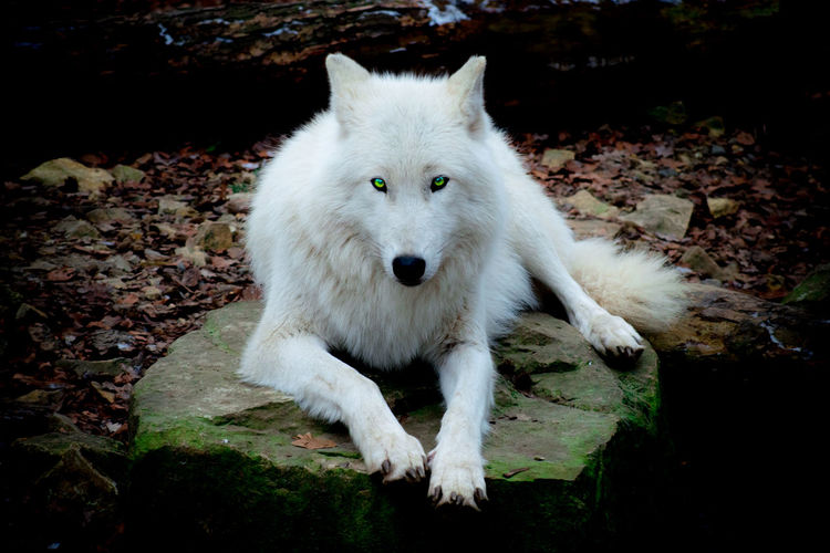 Zoo Osnabrück Wolf One Animal Animal Themes Mammal Animal Vertebrate Domestic Pets Domestic Animals Portrait Nature No People Canine Land White Color Dog Looking At Camera Outdoors Day Relaxation Field Sitting