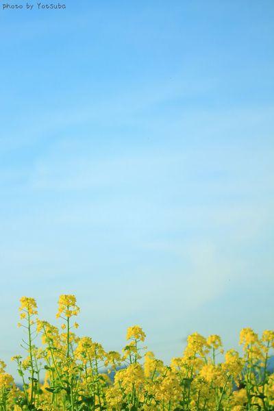 私にとっての春色は、桜じゃなくて菜の花の黄色かもしれない(๑´ω`๑)♡ Enjoying Life 菜の花 Sky_collection EyeEm Nature Lover Flowers Canon Streamzoofamily EyeEm Flower Nature_collection Spring Flowers Spring 2016