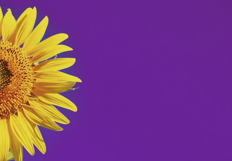 Close-up of sunflower against blue background