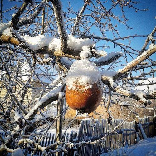 Яблоки на снегу...точнее, под снегом )) Appleundersnow Snow Winter омск сибирь яблокоподснегом яблоко зима новыйгод рождество