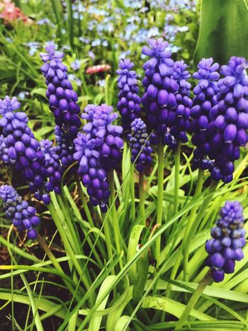 Purple Growth Nature Freshness Beauty In Nature Plant Flower Bunch Hyacinth Outdoors Day No People Fruit Close-up Blooming Fragility