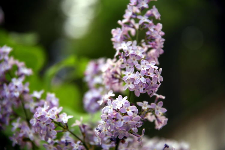 Selective focus on bunches with lilac flowers