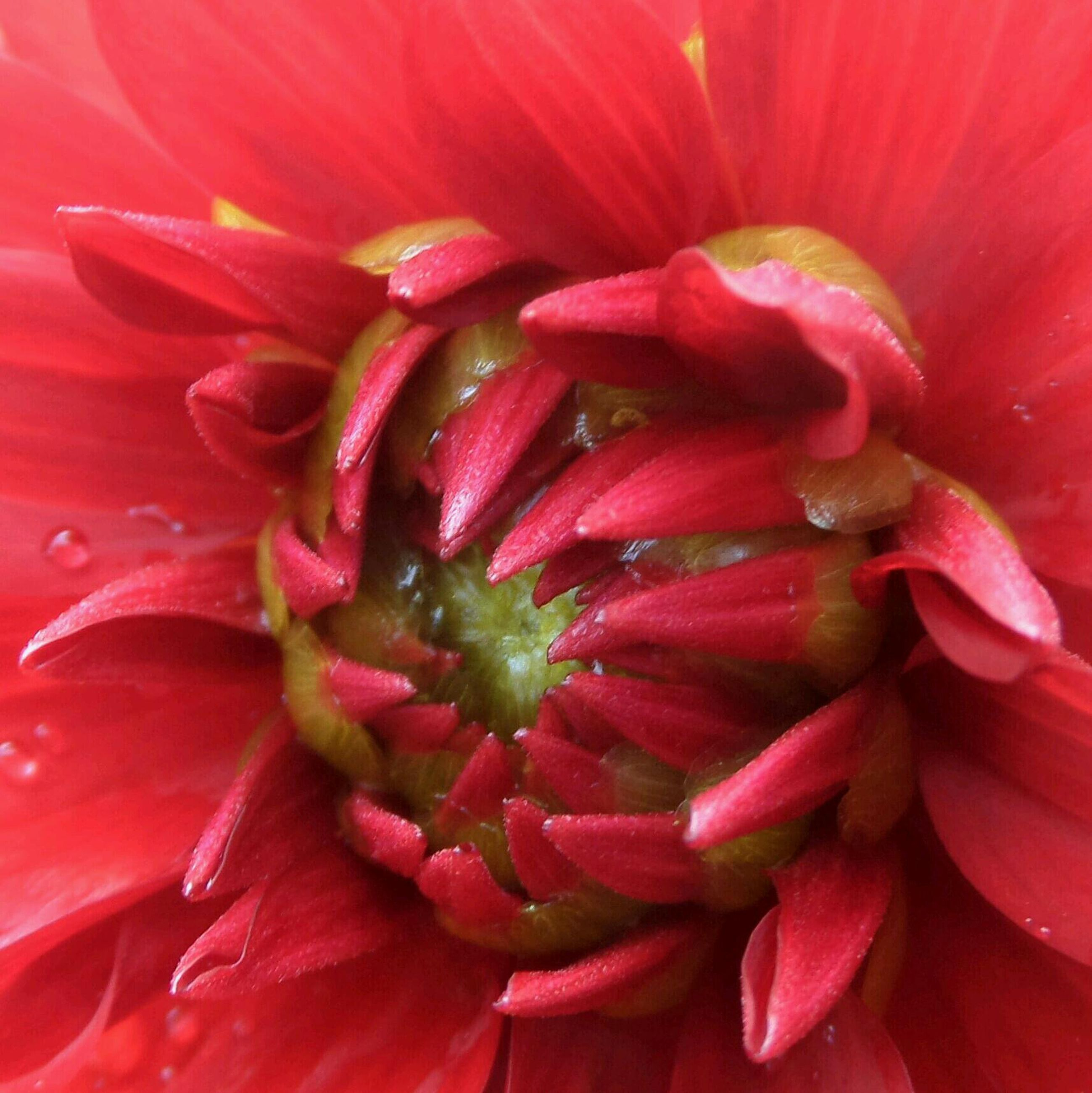 flower, freshness, petal, flower head, fragility, beauty in nature, growth, red, full frame, backgrounds, close-up, nature, single flower, blooming, pollen, macro, drop, in bloom, extreme close-up, stamen