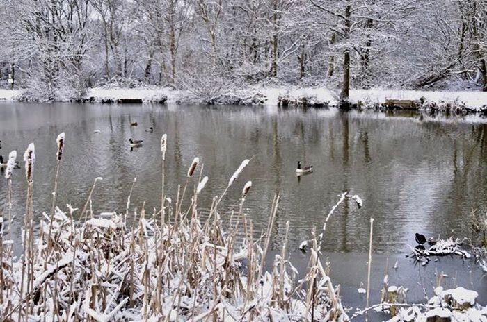 Wildlife & Nature Snow ❄ Animals In The Wild Lake Animal Themes Water Bird Nature Large Group Of Animals No People Day Animal Wildlife Bare Tree Outdoors Winter Plant Beauty In Nature Tree Swan Spread Wings