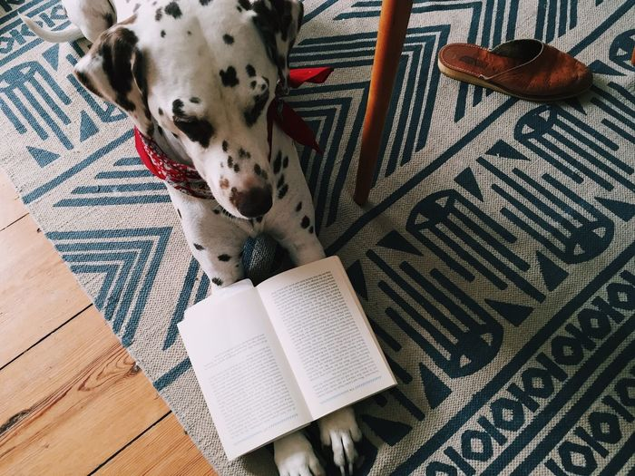 High Angle View Of Dalmatian With Book Resting On Carpet