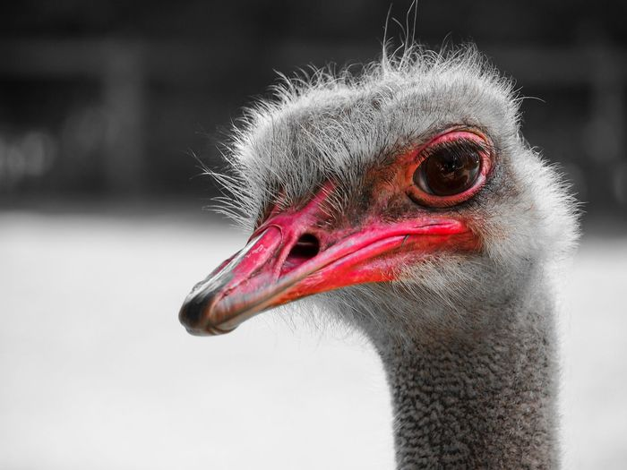 ostrich Ostrich Animal Themes One Animal Portrait Outdoors Animal Eye No People Animal Body Part Focus On Foreground Bird Day Red Hair Profile View Animal Vertebrate EyeEm Nature Lover
