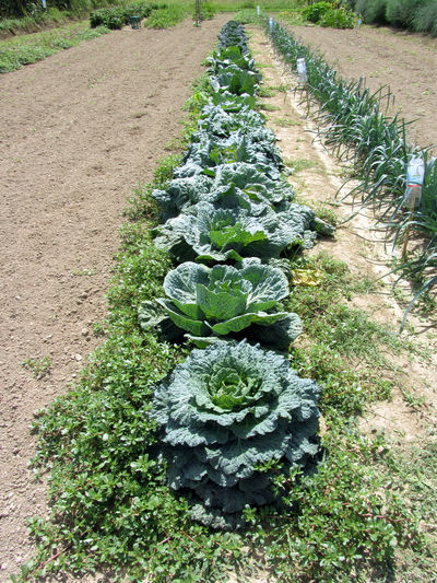 Arrays of cabbages and onions in the garden . Tuscany, Italy Agriculture Array Cabbage Cultivated Field Flavorful Food Food Staple Green Herb Homegrown Produce In A Row Ingredient Leaf Mediterranean Cuisine Onion Organic Plant Scented Sour Cabbage Tuscany Vegan Food Vegetable Vegetarian Food Vitamin