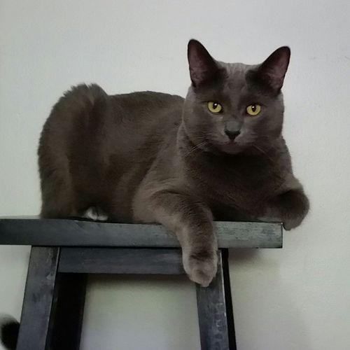 Myposer Catsofinstantgram Catoftheday Catofinstantgram Cat Greycat Handsomecat