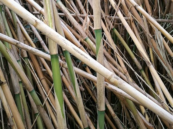 Large Group Of Objects No People Full Frame Backgrounds Outdoors Bamboo - Plant Close-up Nature Day Intertwined Bamboo Grove
