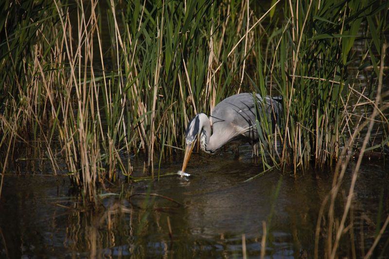 View of gray heron in lake
