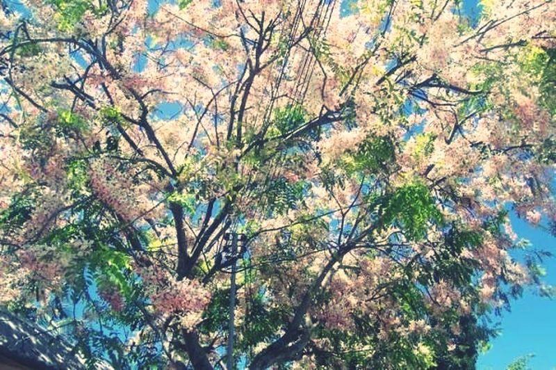 Simala,philippines Sakura Philippine Version