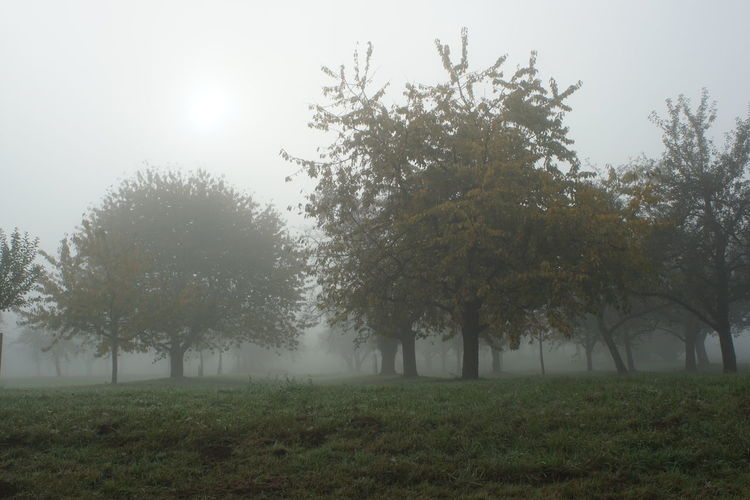 Plant Tree Fog Beauty In Nature Field Grass Land Environment Tranquility Nature Tranquil Scene Landscape Growth Sky Scenics - Nature Non-urban Scene Day No People Outdoors Hazy  Orchard
