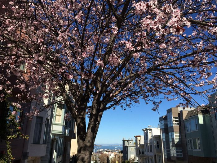Blue Sky Cherry