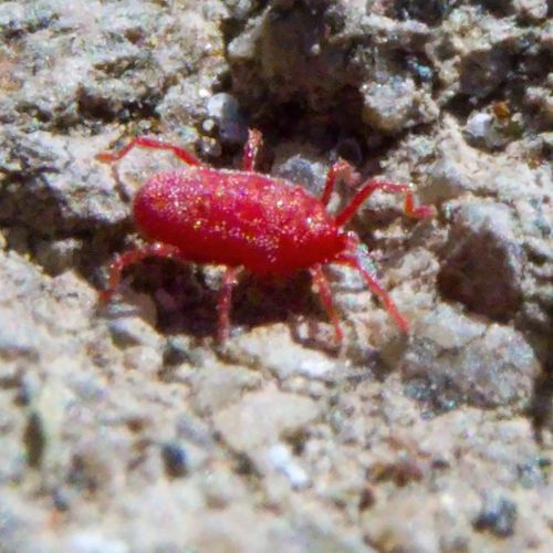I'm not sure, but I think this is some sort of Mite.  It's not an insect.  Insects have six legs, and this has eight.  Almost certainly an Arachnid.   A fairly common critter, but not easily noticed because it is so tiny.  Spend some time staring closely at a concrete curb, and you'll probably see them—tiny bright red or orange spots, too small to see much more detail bare-eyed, moving with surprising speed.   Arcari Acarina Macro