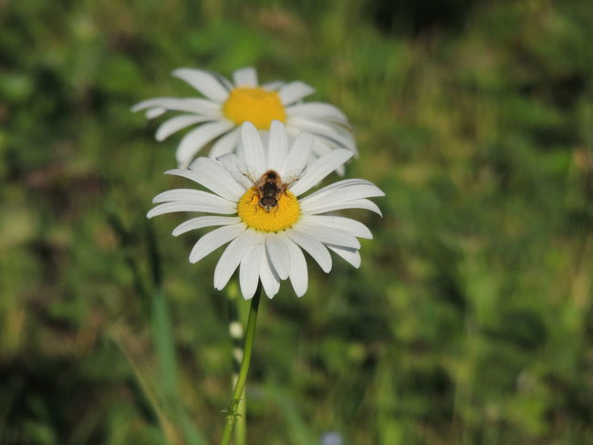 Beauty In Nature Blooming Blossom Botany Close-up Daisy Day Flower Flower Head Focus On Foreground Fragility Freshness Growth In Bloom Insect Nature No People Outdoors Petal Plant Pollen Pollination Selective Focus White Color Yellow