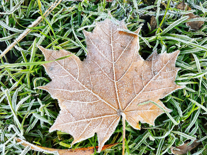 Close-up of autumn leaf on snow covered field