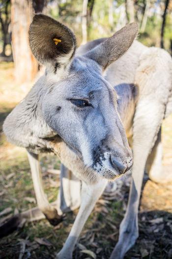 Australia Coala Zoo Animal Birds Kangaroo Petting Zoo Real Aussies
