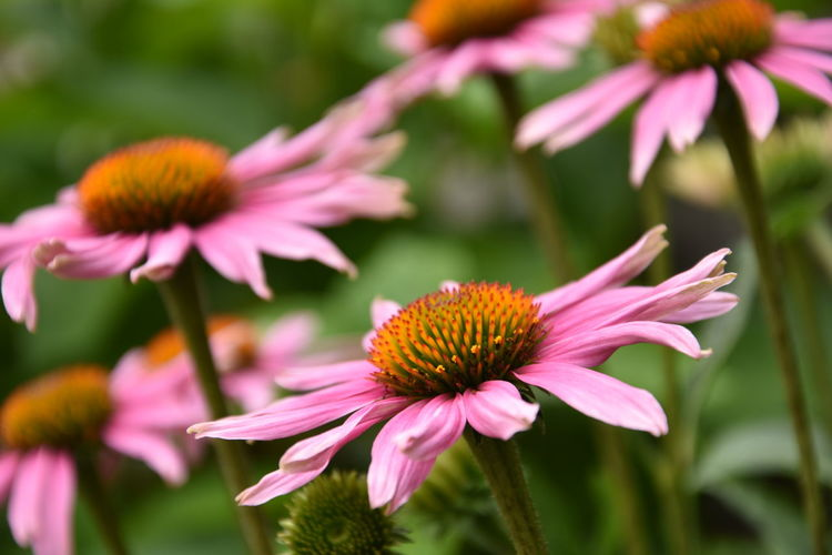 Beautiful pink flowers Nature Pink Beauty In Nature Close-up Coneflower Day Flower Flower Head Flowering Plant Focus On Foreground Fragility Freshness Growth Inflorescence Nature No People Outdoors Petal Pink Color Plant Pollen Vulnerability  The Great Outdoors - 2018 EyeEm Awards