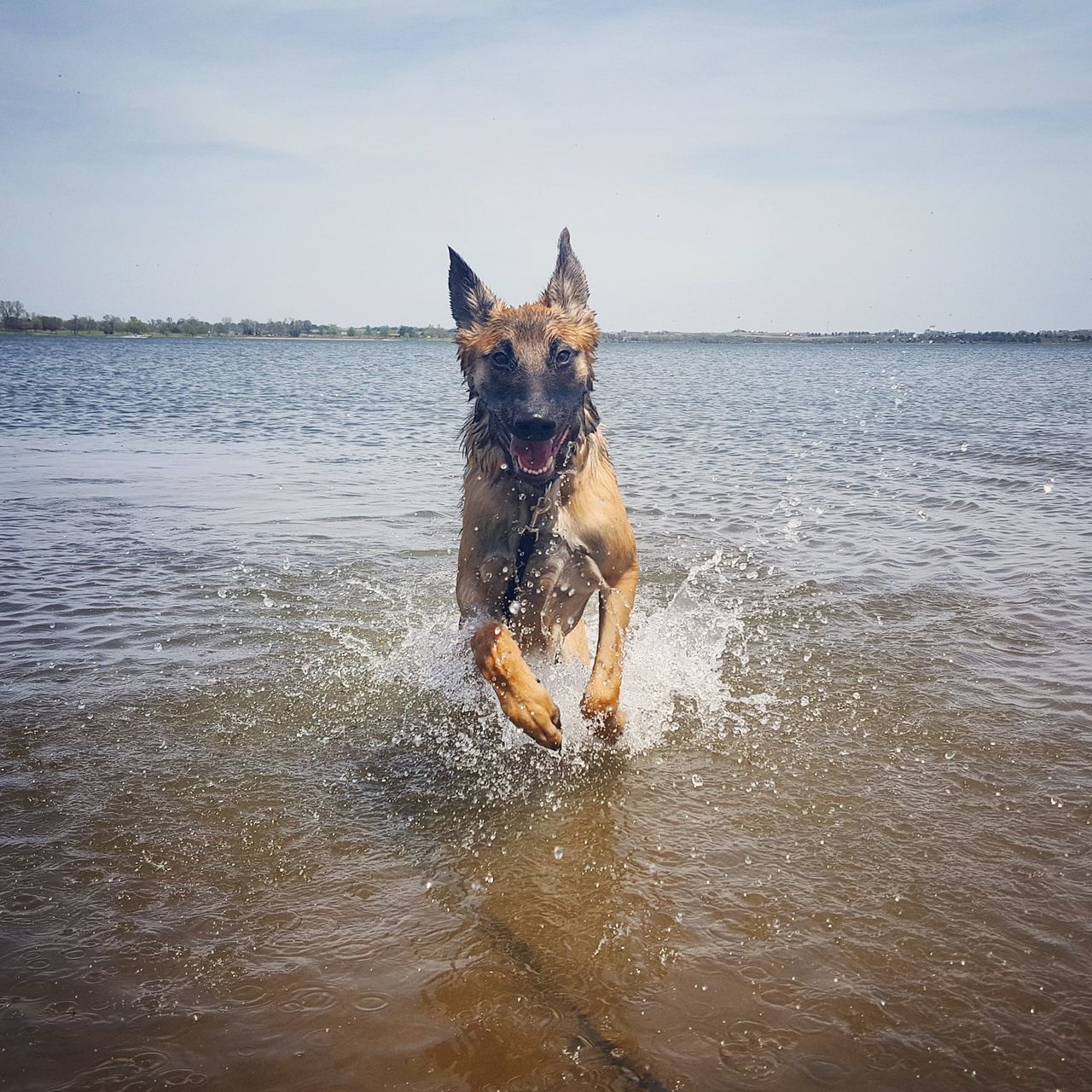 dog, pets, domestic animals, water, german shepherd, sky, sea, mammal, animal themes, outdoors, day, portrait, nature, no people